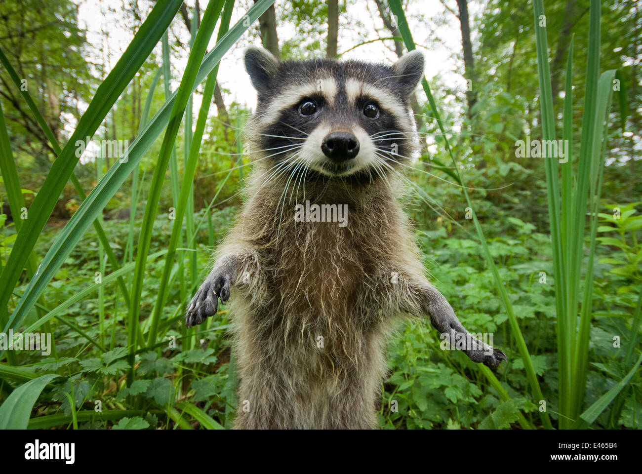 Raccoon (Procyon lotor) standing up investigating camera, portrait, Stanley park, Vancouver, British Columbia, Cananda, - Stock Image