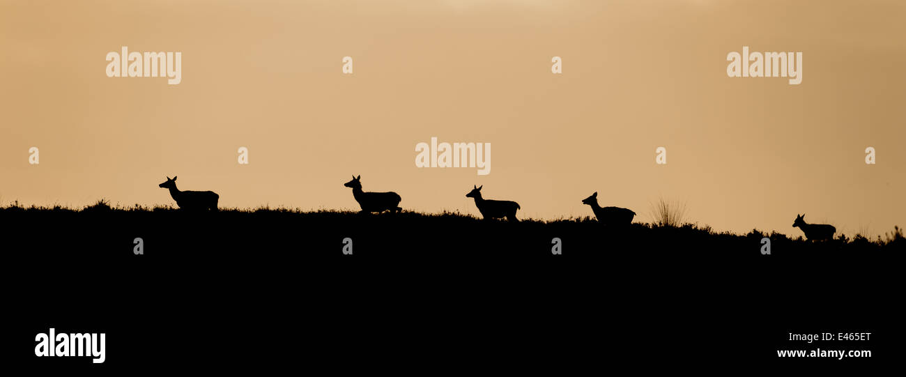 A herd of Red deer crosses the moor against a red morning sky - Stock Image