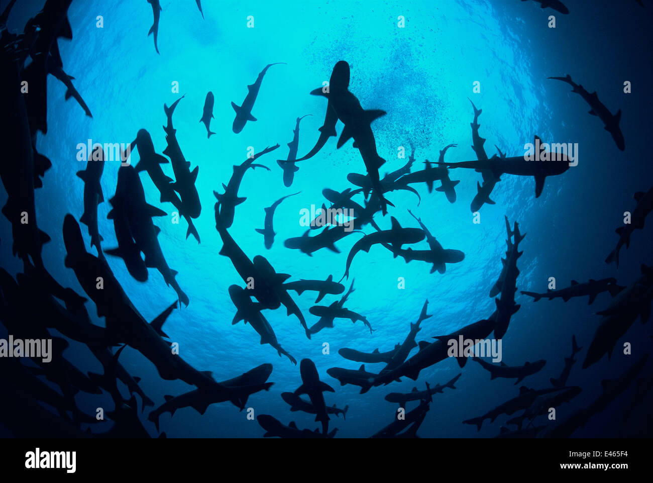 Whitetip reef sharks (Triaenodon obesus) pack silhouetted following scent trail in water column, Cocos Island, Costa - Stock Image