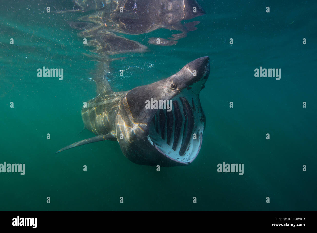 Basking shark (Cetorhinus maximus) feeding at the surface on plankton, Cairns Of Coll, Isle of Coll, Inner Hebrides, - Stock Image