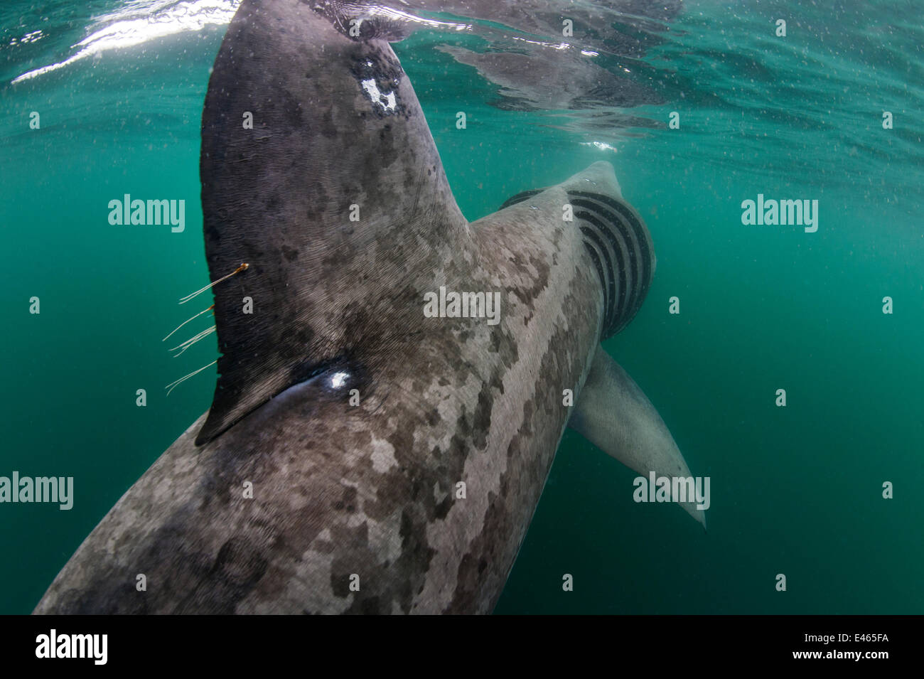 Basking shark (Cetorhinus maximus) rear view of shark feeding at the surface on plankton, Cairns Of Coll, Isle of - Stock Image