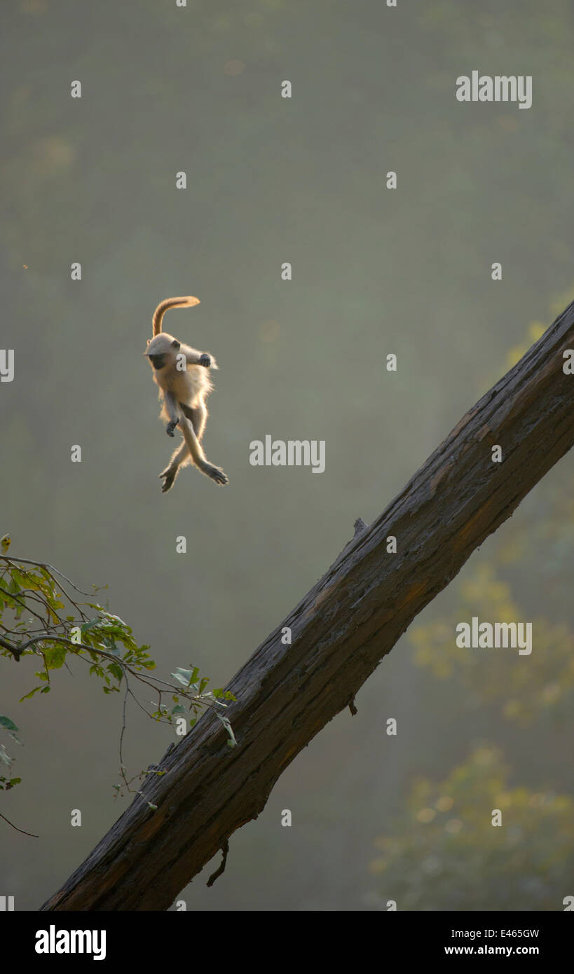 Hanuman / Northern Plains Grey Langur (Presbytis entellus) youngster in mid-air leaping from a sloping tree trunk - Stock Image