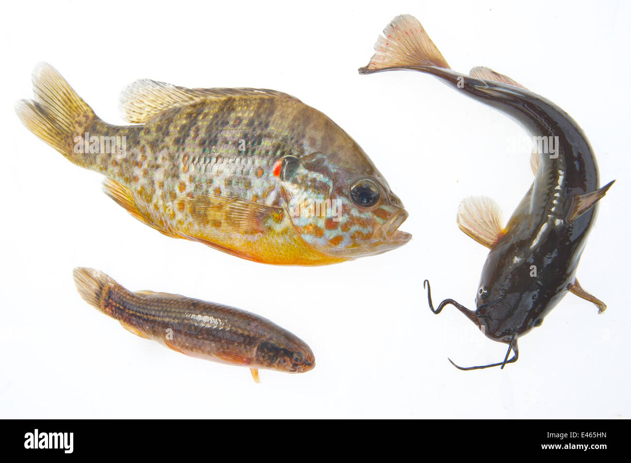 Composite image of American fish species introduced to Europe: Pumpkinseed sunfish (Lepomis gibbosus, left), Brown - Stock Image