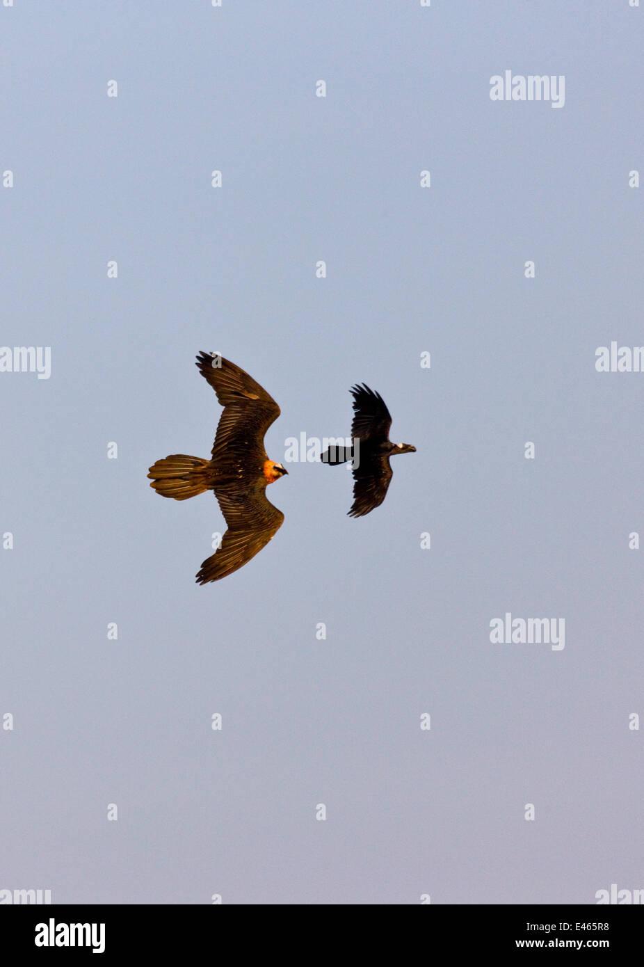 Lammergeier / Bearded Vulture (Gypaetus barbatus) chasing Thick-billed Raven (Corvus crassirostris) in flight. Simien - Stock Image