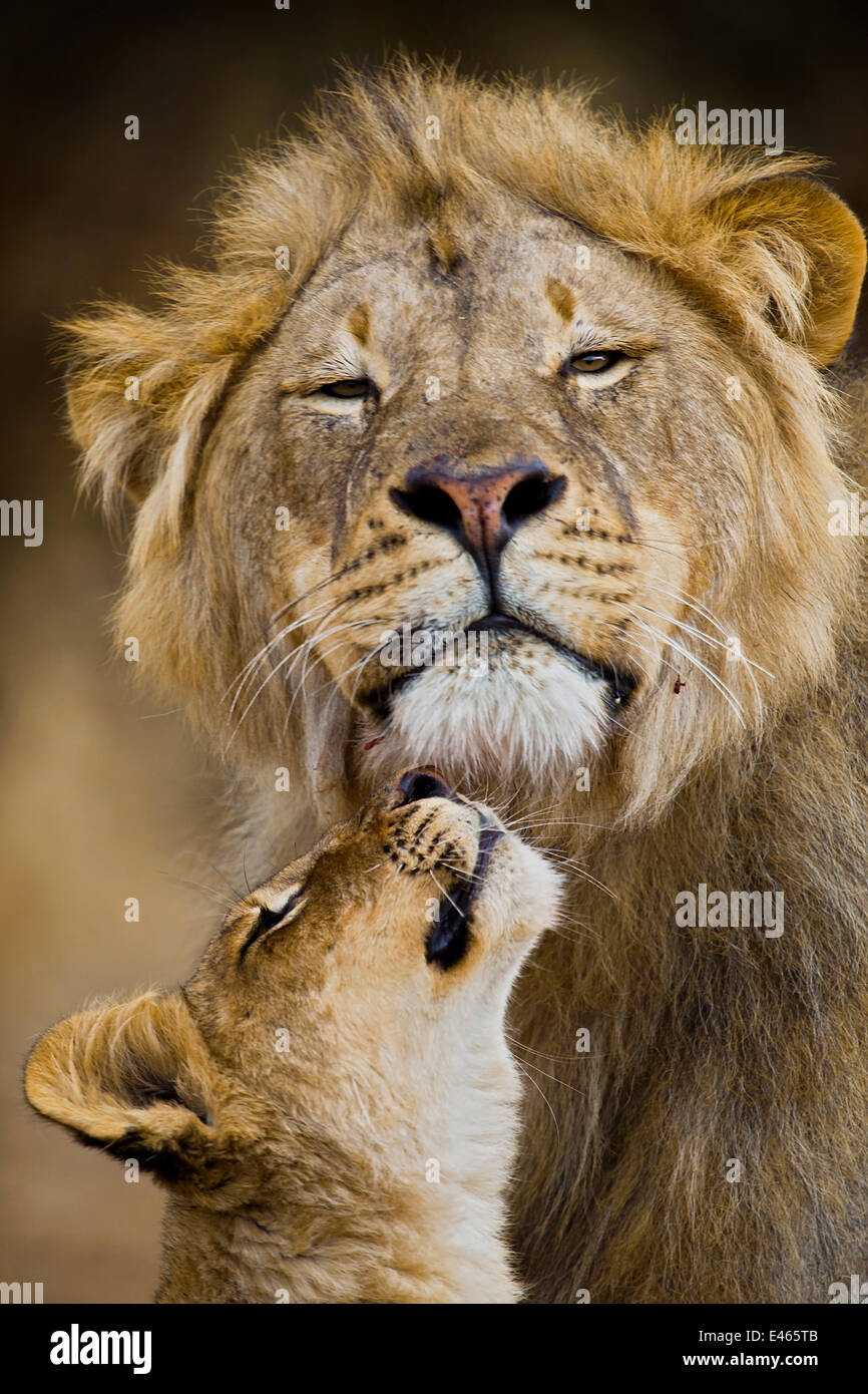 African Lion (Panthera leo) cub reaches for a moment of intimacy with its father, Northern Tuli Game Reserve, Botswana - Stock Image
