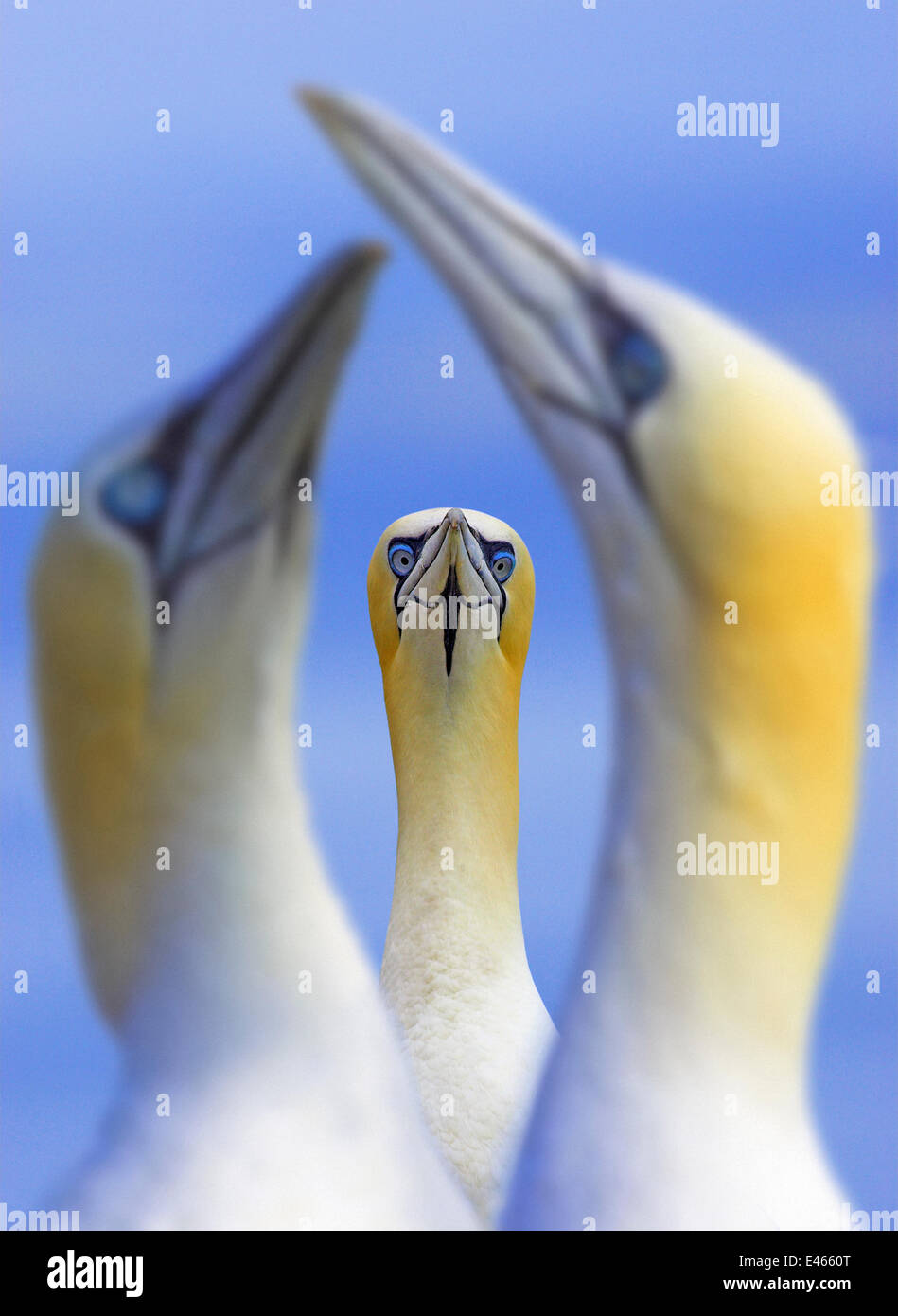 Northern gannets (Morus / Sula bassanus) portrait of individual with a courting pair in foreground, UK, Bass Rock, - Stock Image