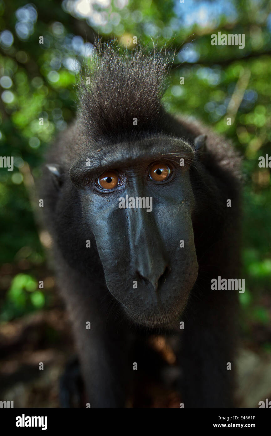 Celebes / Black crested macaque (Macaca nigra)  sub-adult male head and shoulders portrait, Tangkoko National Park, - Stock Image