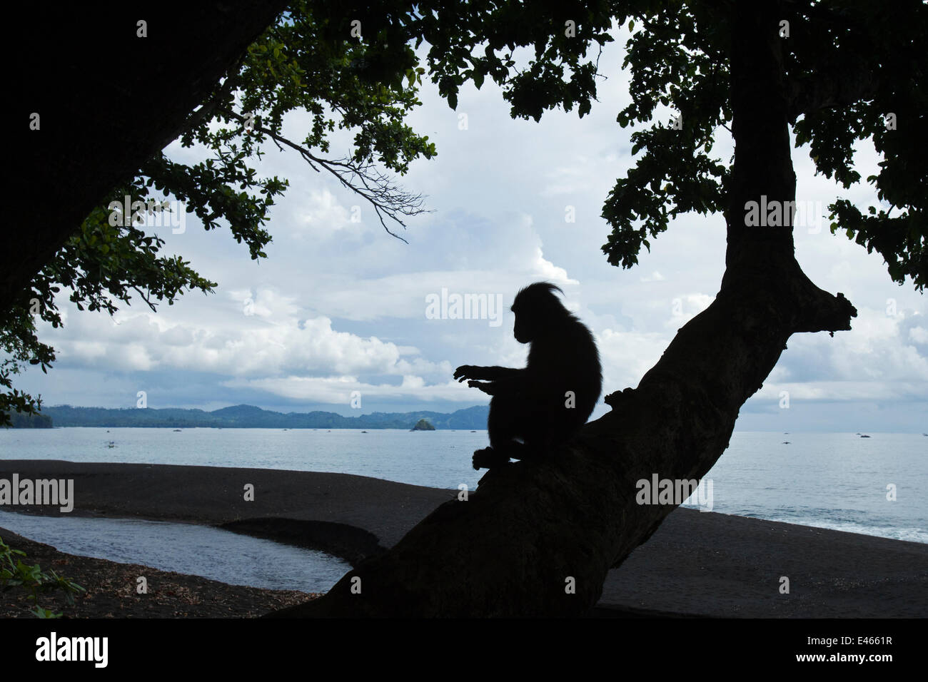 Celebes / Black crested macaque (Macaca nigra) silhouette of juvenile sitting in a tree at coast, Tangkoko National - Stock Image