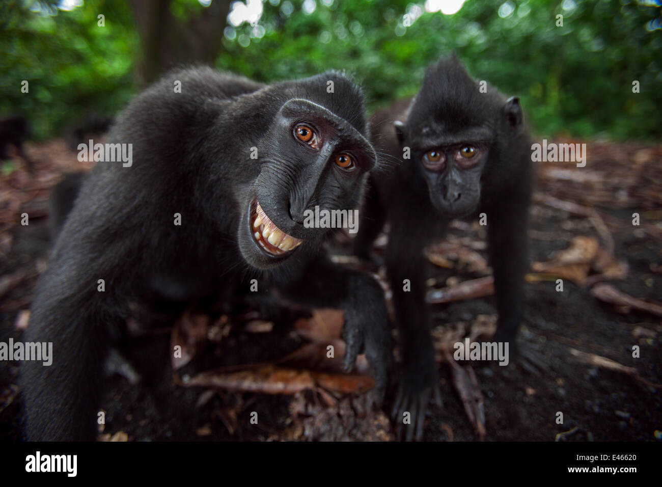 Celebes / Black crested macaque (Macaca nigra) two juveniles approaching with curiosity, one grimacing Tangkoko - Stock Image