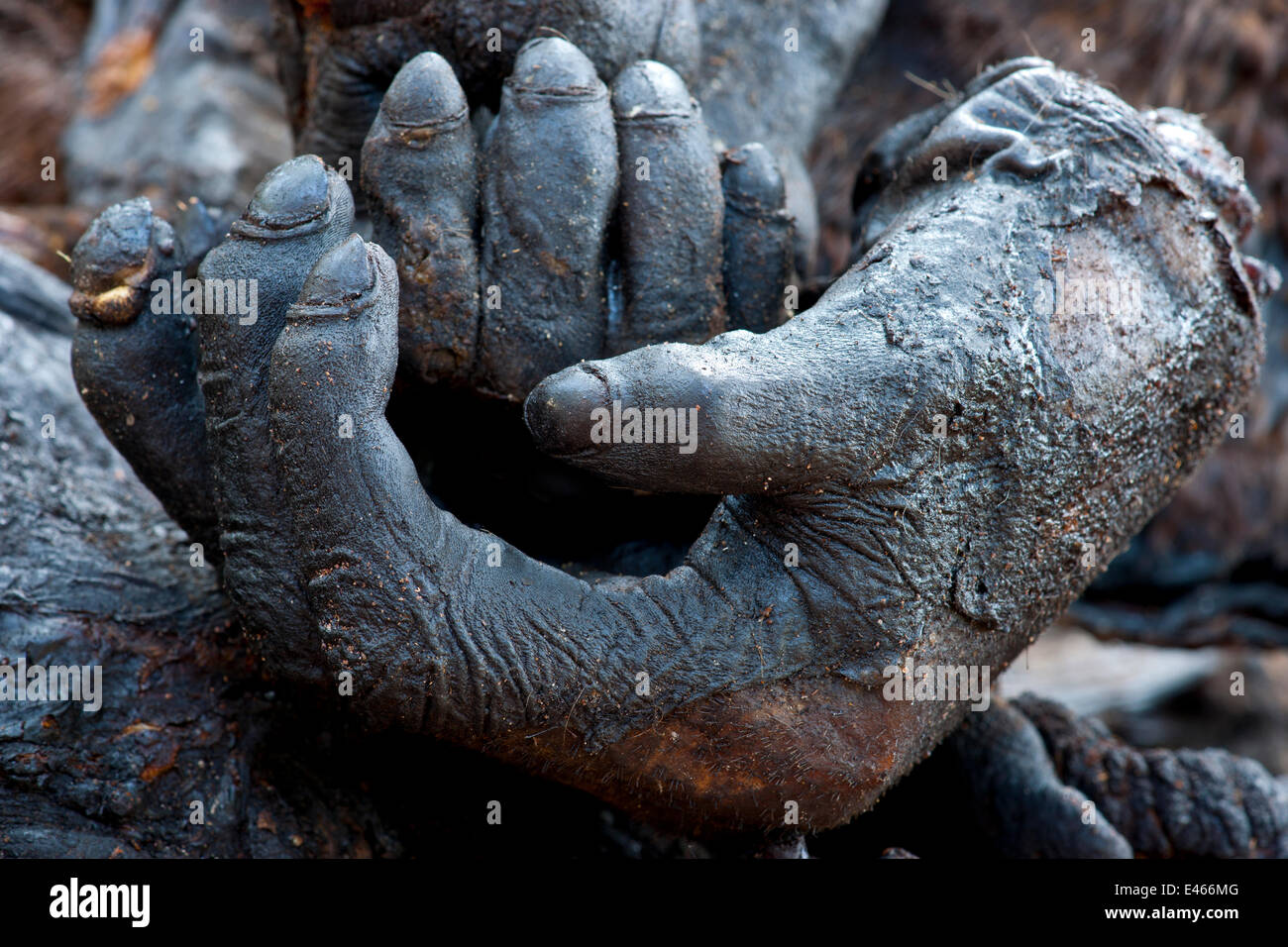 Meat Grinder For Sale >> Western Gorilla (Gorilla gorilla) severed and smoked hands ...