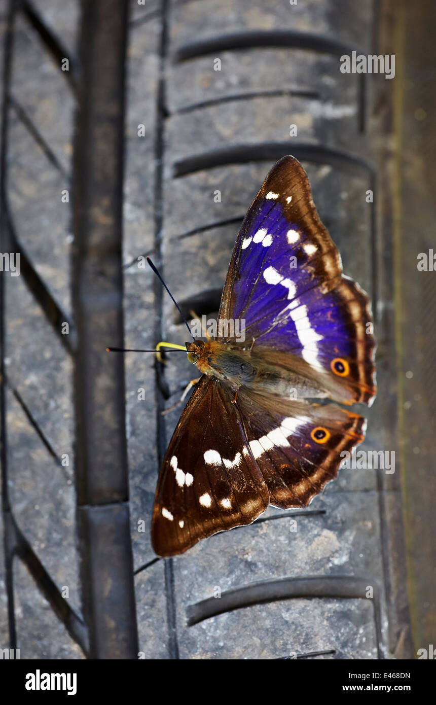 Purple Emperor butterfly probing a car tyre with its proboscis. Bookham Common, Surrey, England - Stock Image