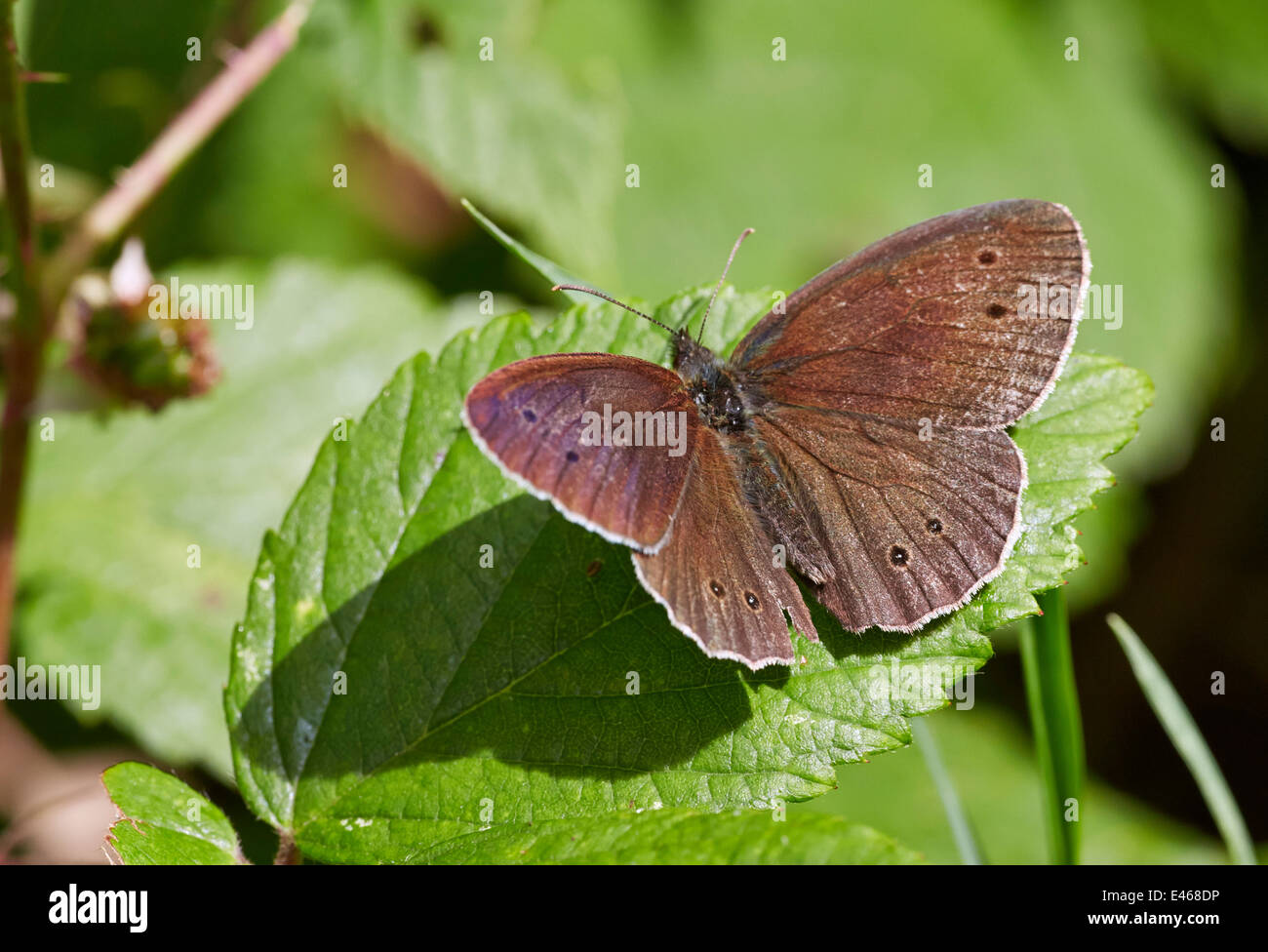 Ringlet butterfly resting on leaf. Bookham Common, Surrey, England. - Stock Image