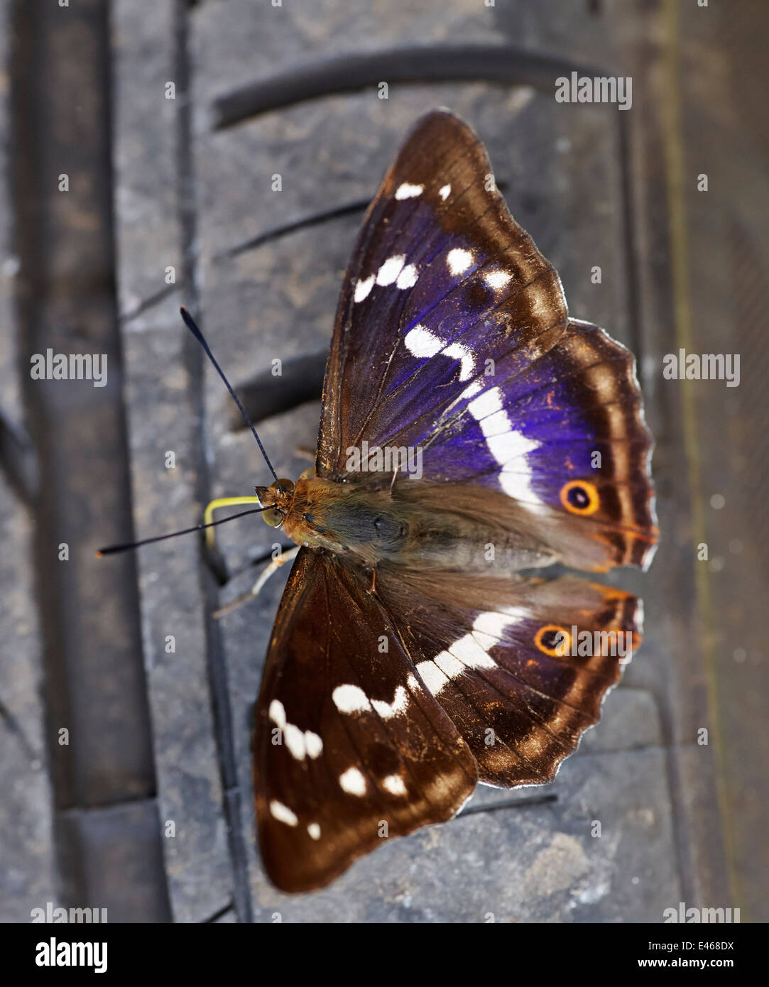 Purple Emperor butterfly probing a car tyre with its proboscis. Bookham Common, Surrey, England. - Stock Image
