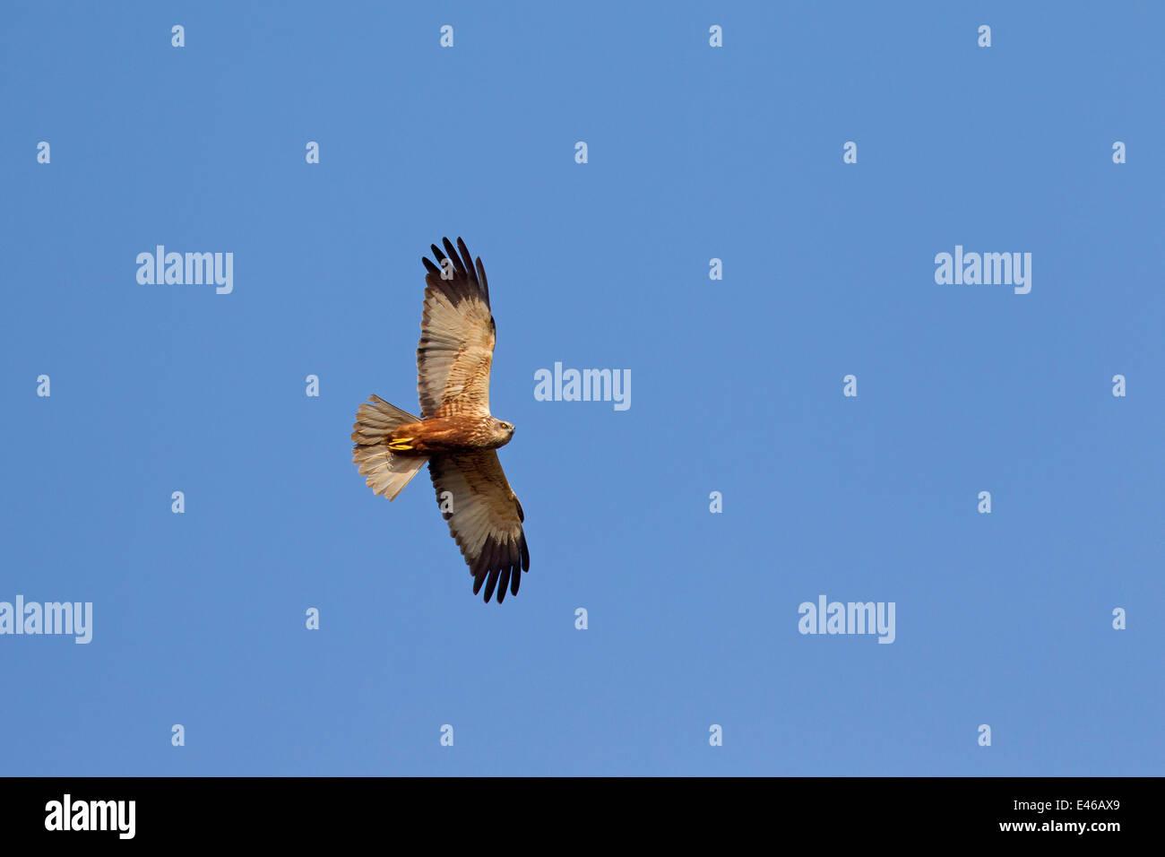 Western marsh harrier / Eurasian marsh harrier (Circus aeruginosus), male in flight against blue sky Stock Photo