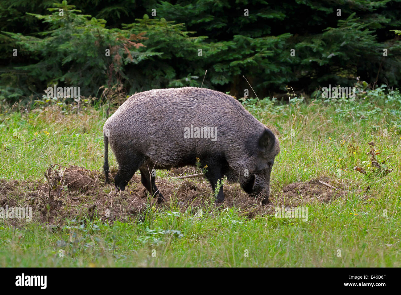 Wild boar (Sus scrofa) sow in forest rooting up the soil in search of food - Stock Image
