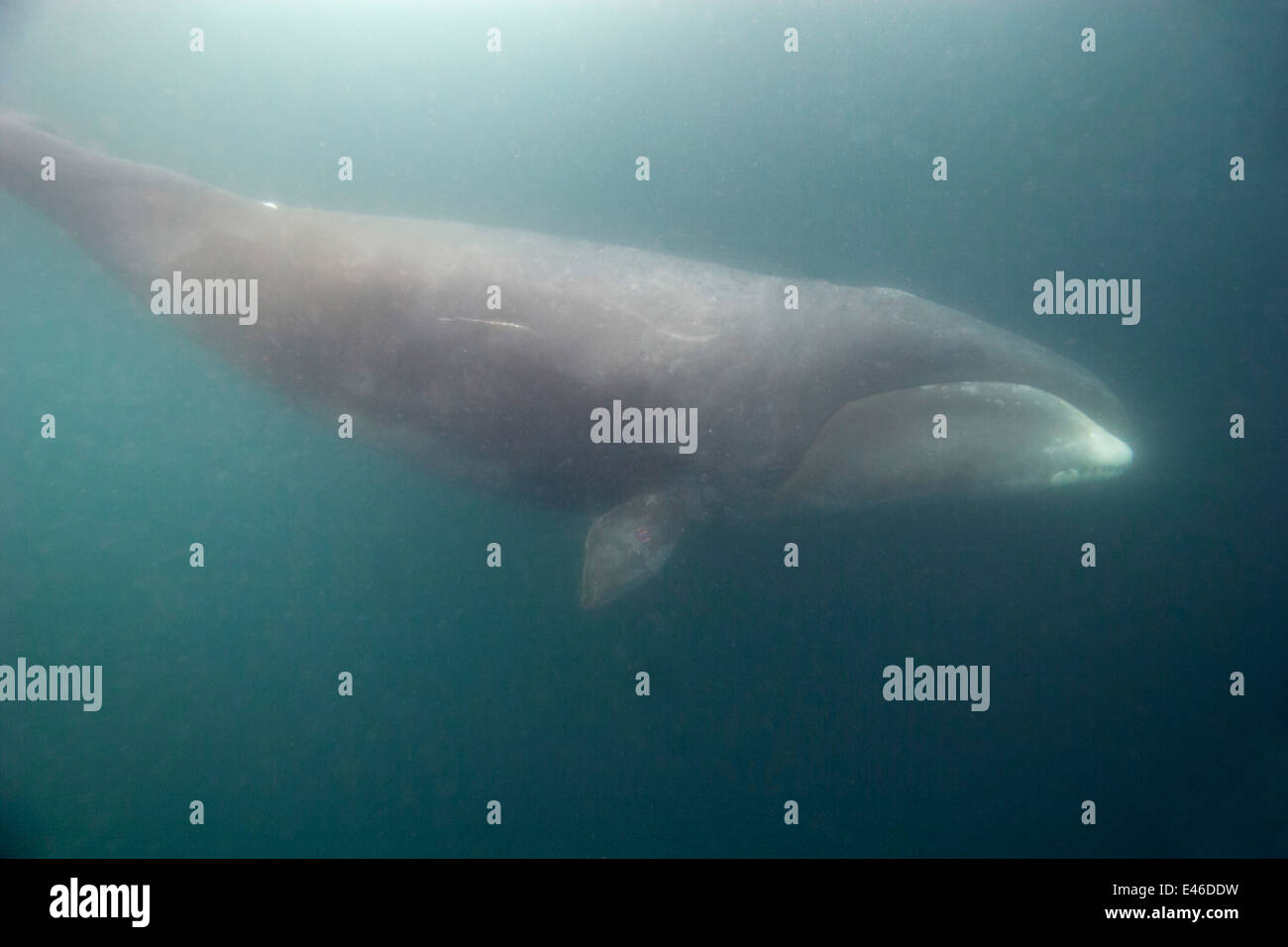 Bowhead Whale (Balaena mysticetus) diving from the surface to feed on shrimp-like crustaceans and small fish under - Stock Image