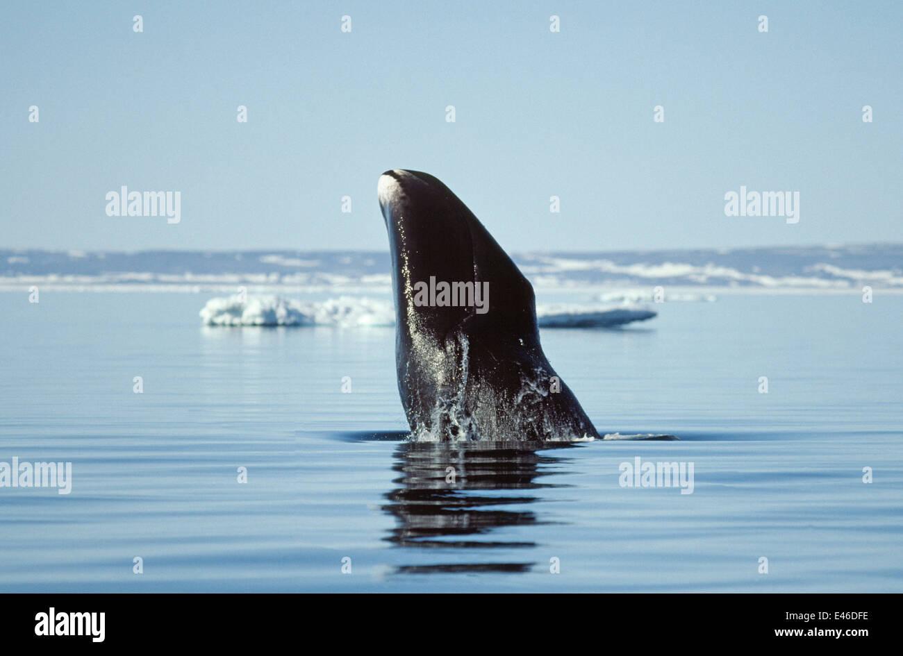 Bowhead Whale (Balaena mysticetus) breaching. Canada Igloolik Stock Photo