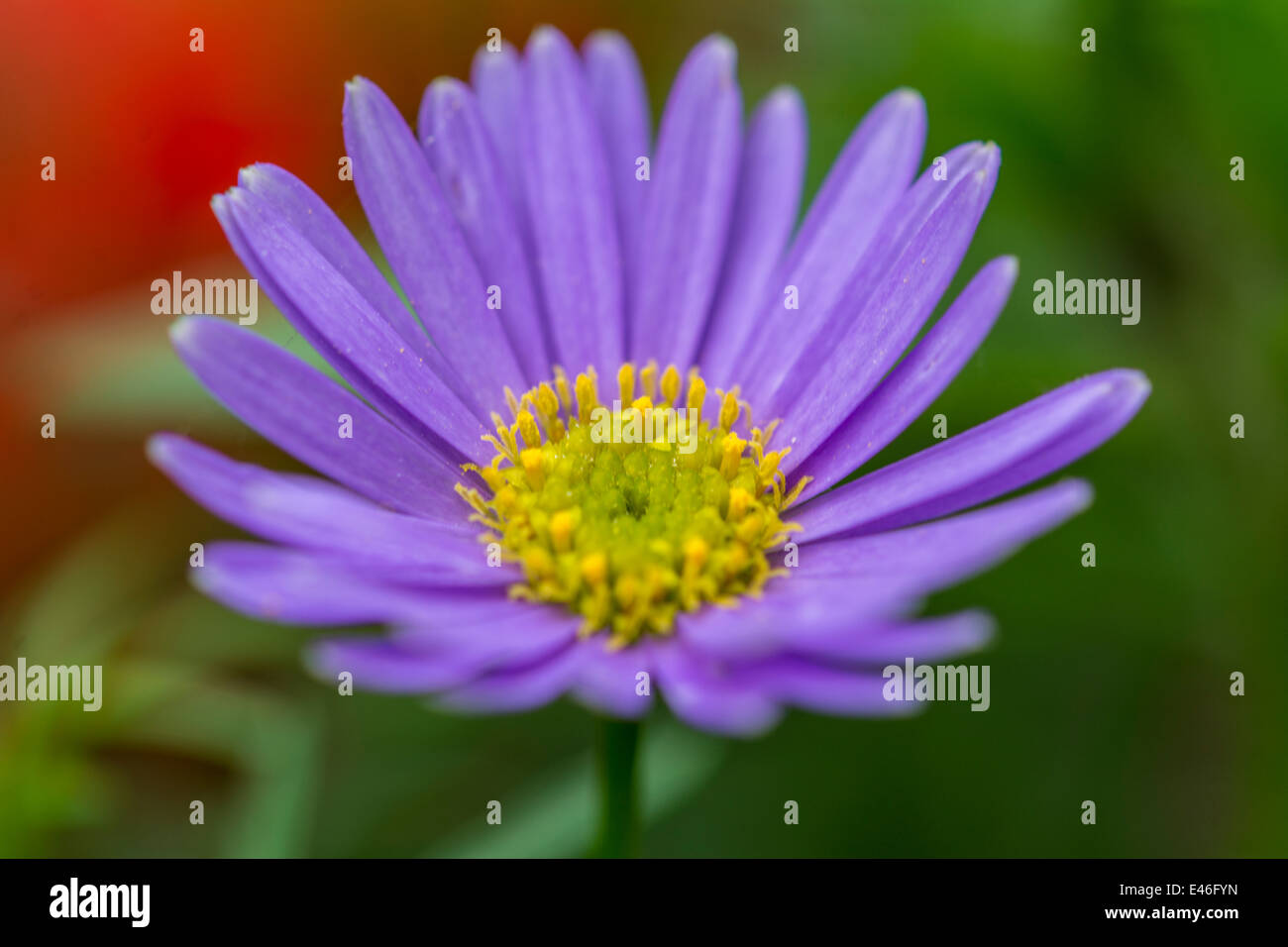 Close up view of the African daisy - Stock Image