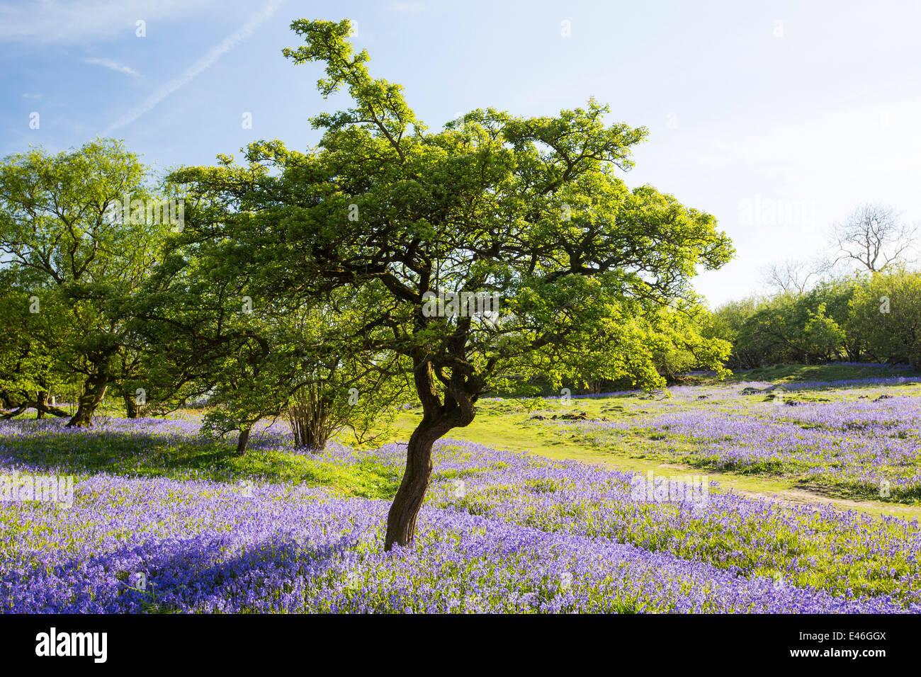 A Hawthorn Tree growing amongst Bluebells on a limestone hill in the Yorkshire Dales National Park, UK. - Stock Image