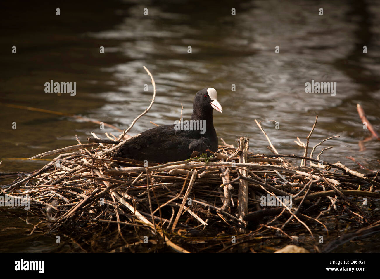 UK, Derbyshire, Peak District, Bakewell, wildlife, coot nesting in shallows of River Wye Stock Photo