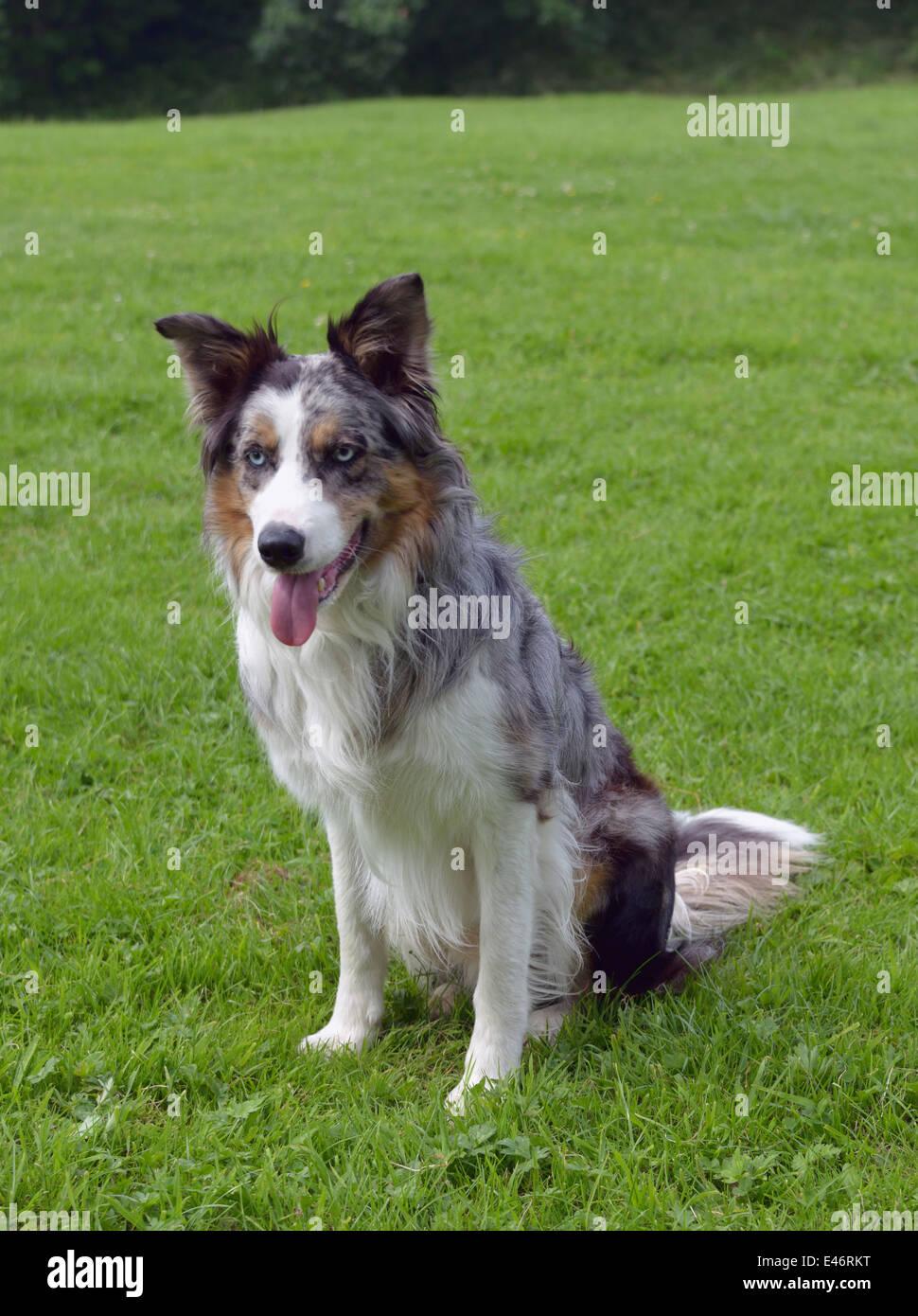 Tricoloured Blue Merle Border Collie Dog Stock Photo