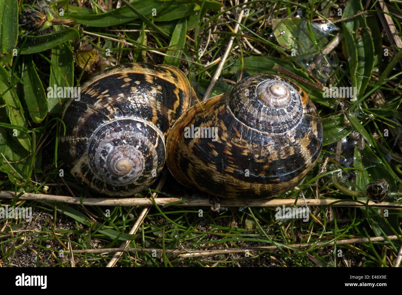 Edible Snails Uk Stock Photos & Edible Snails Uk Stock Images - Alamy