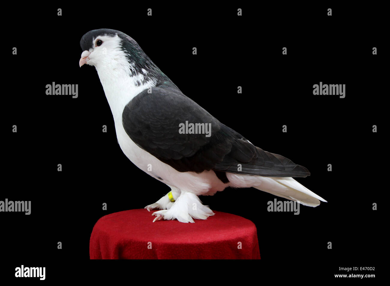 A Lahore, a breed of fancy pigeon, at the Faircount Pigeon Show, Ansonia, Connecticut, U.S.A. - Stock Image