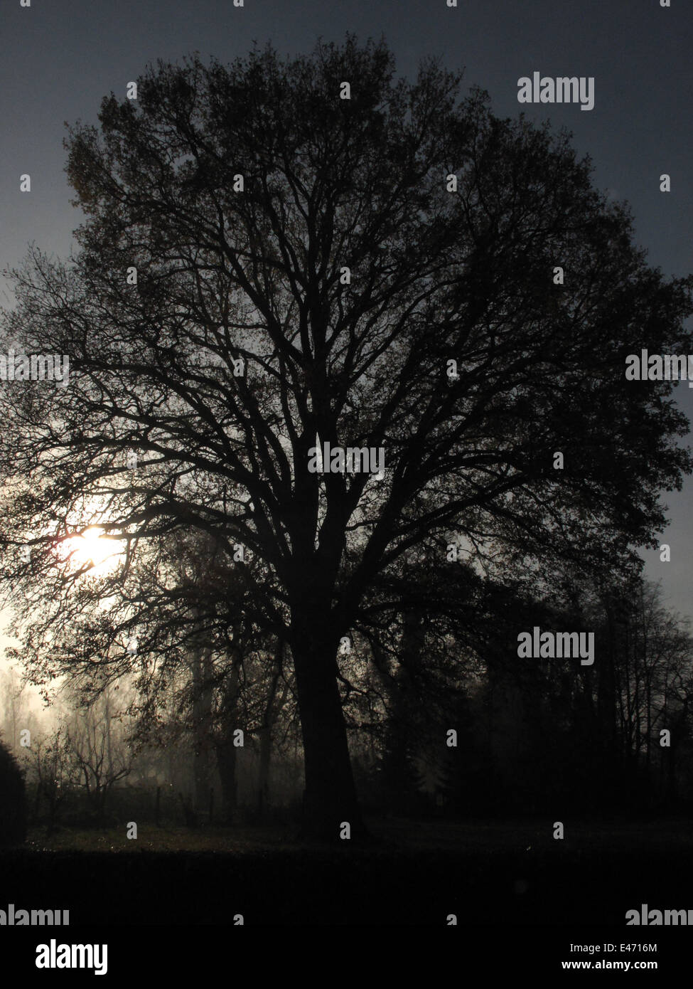 Berlin, Germany, leafless tree backlit by the sun and in heavy fog Stock Photo