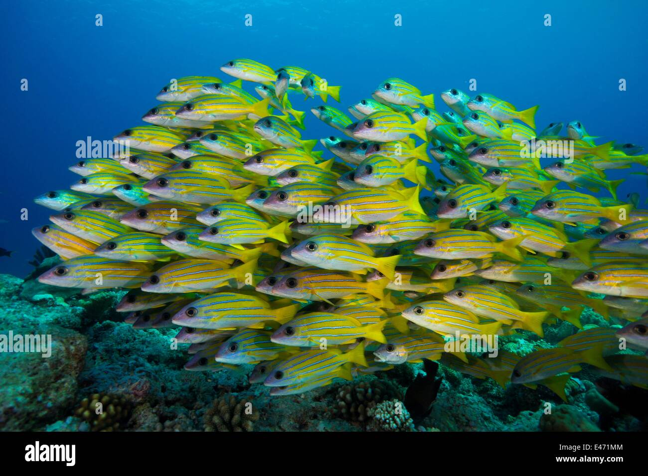 Bluelined snappers, (Lutjanus Kasmira), Palau, Ozeanien April 2014 - Stock Image