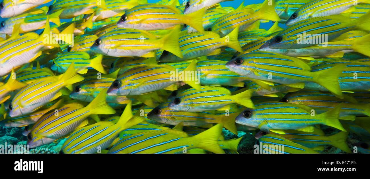 Bluelined snappers, (Lutjanus Kasmira), Palau, Ozeanien April 2014 Stock Photo