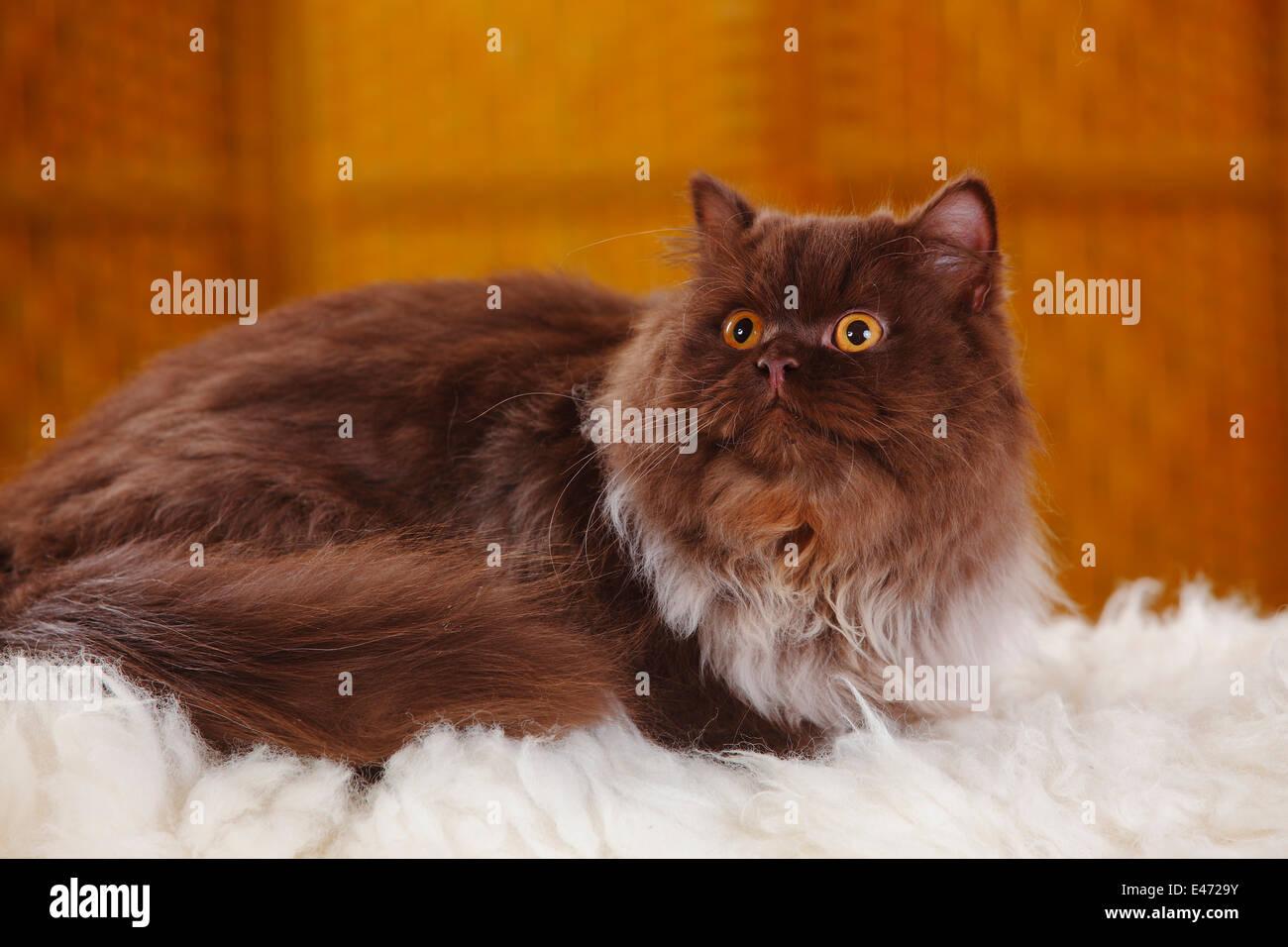British Longhair Cat, tomcat, chocolate  Britische Langhaarkatze, Kater, chocolate - Stock Image