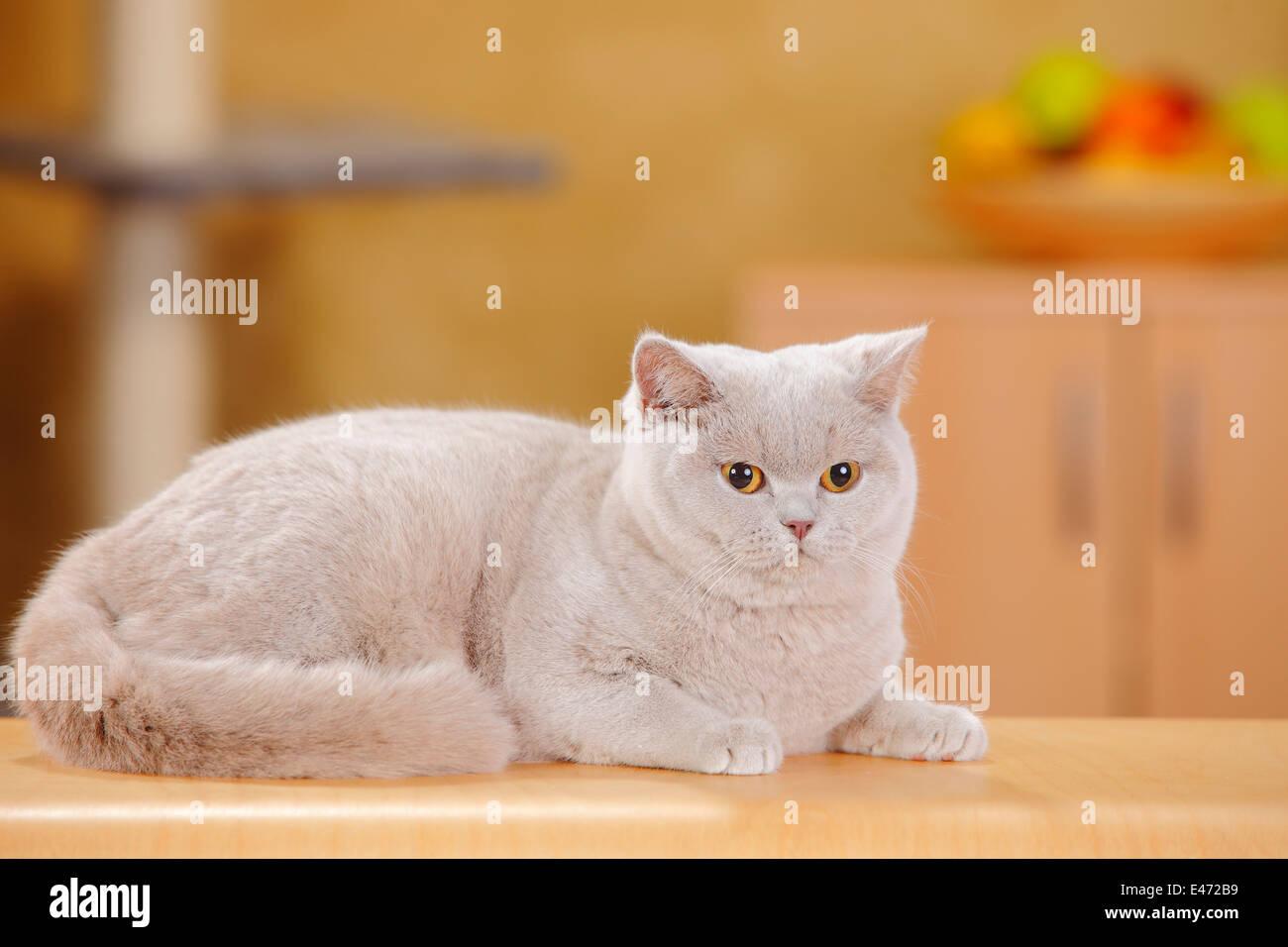 British Shorthair Cat, fawn  Britische Kurzhaarkatze, fawn - Stock Image