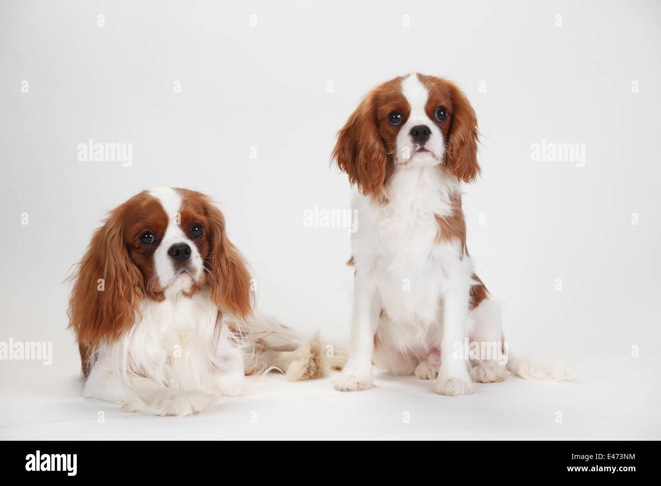4 6 Year Male Cavalier King Charles Spaniel: Cavalier King Charles Spaniel, Blenheim, Males, 1 Year And