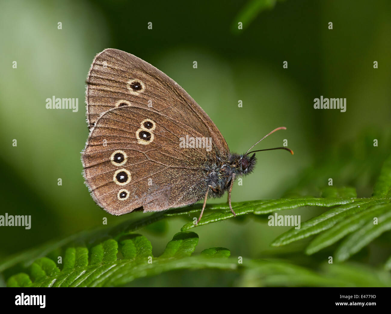 Ringlet butterfly resting on a fern. Bookham Common, Surrey, England. - Stock Image