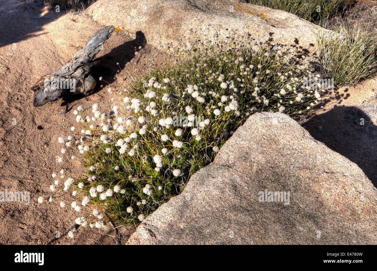 Desert Plant, Joshua Tree National Park, Calif. USA - Stock Image