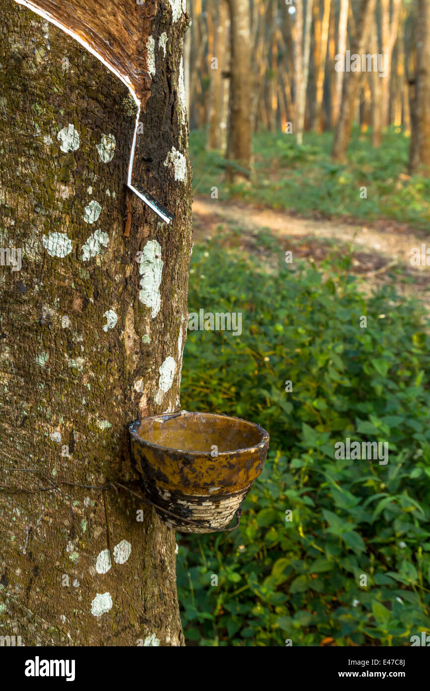 Tracks tapping rubber trees in southern Thailand. - Stock Image