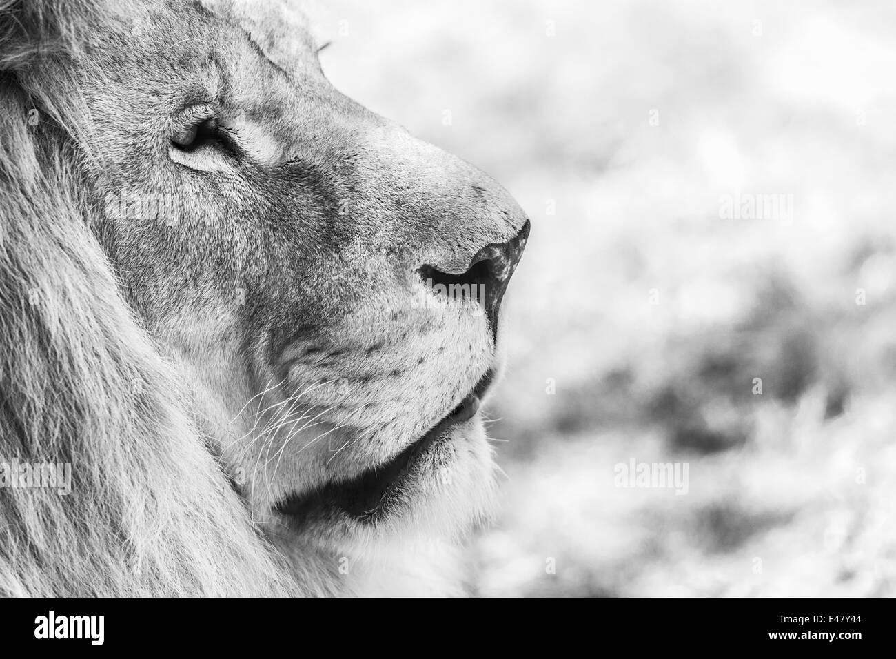 Black And White Lion Portrait Stock Photo