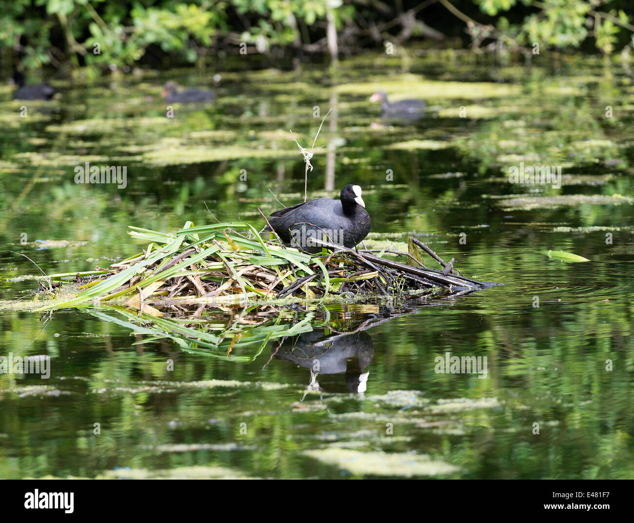 A Coot on Its Nest in a Pond at Fairburn Ings near Castleford West Yorkshire England United Kingdom UK - Stock Image