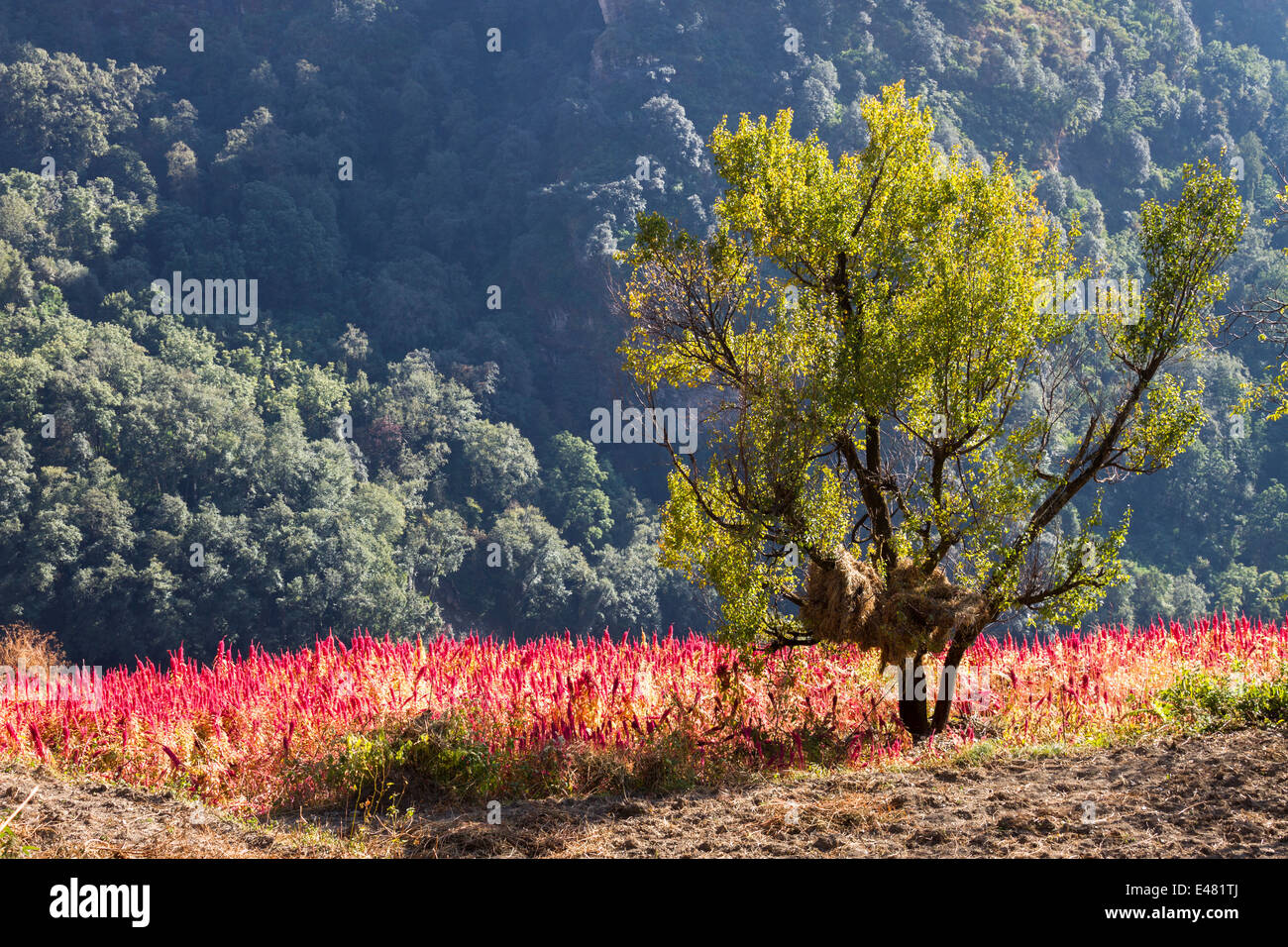 A field of amaranth on a Himalayan mountain, Uttarakhand, India. Stock Photo