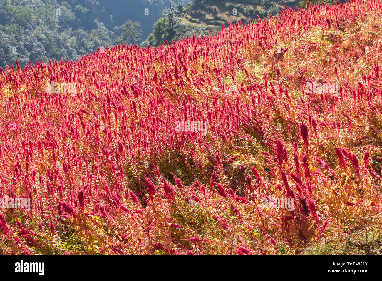 A field of amaranth on a Himalayan mountain, Uttarakhand, India. - Stock Image