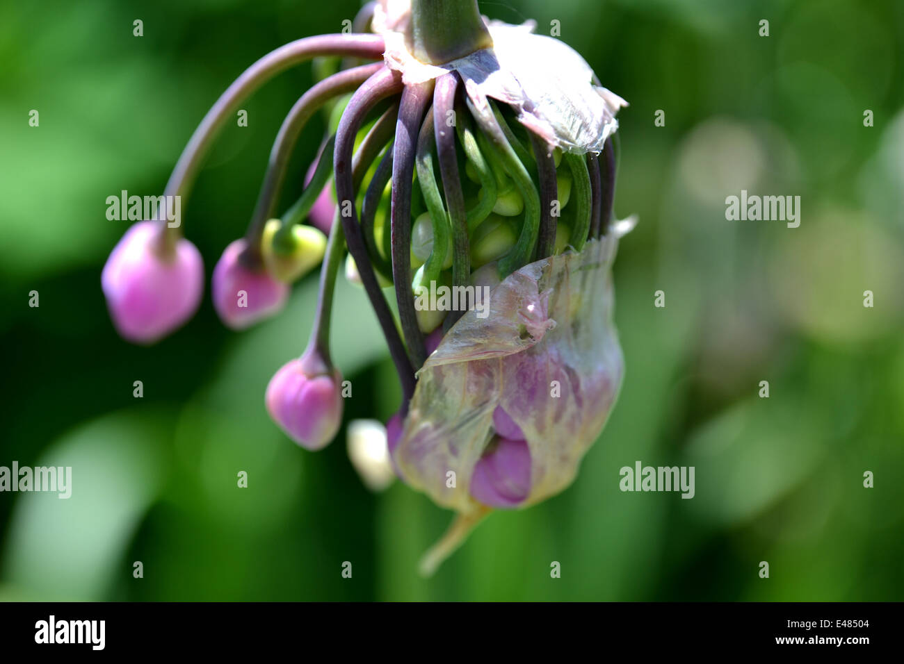 Allium cernuum flower (ornamental onion) breaking out of its sheath,(some still attached) early summer - Stock Image