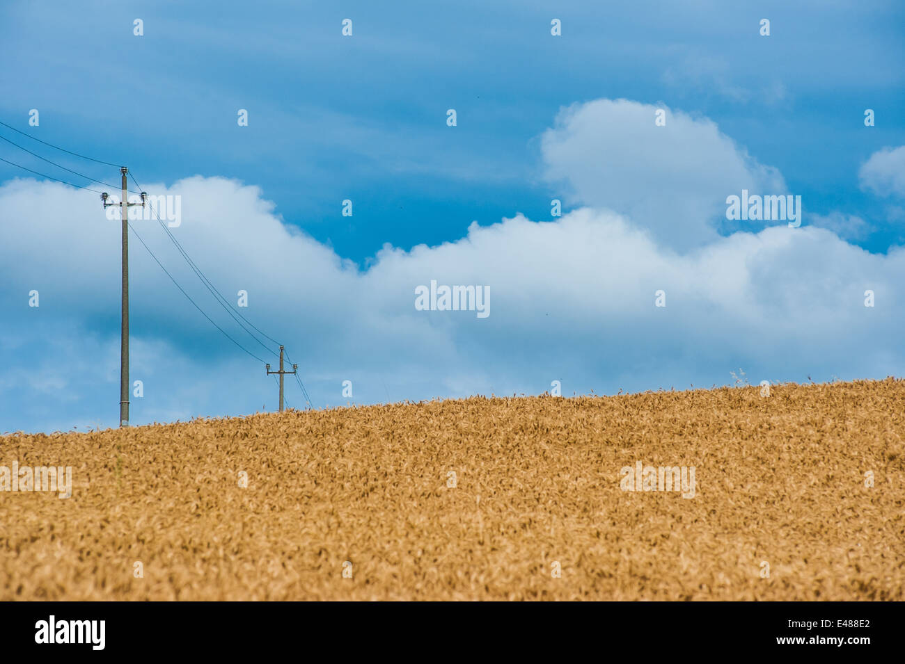 Wheat field against cloudy blue sky on the hills of Piacenza (colli piacentini), Italy - Stock Image