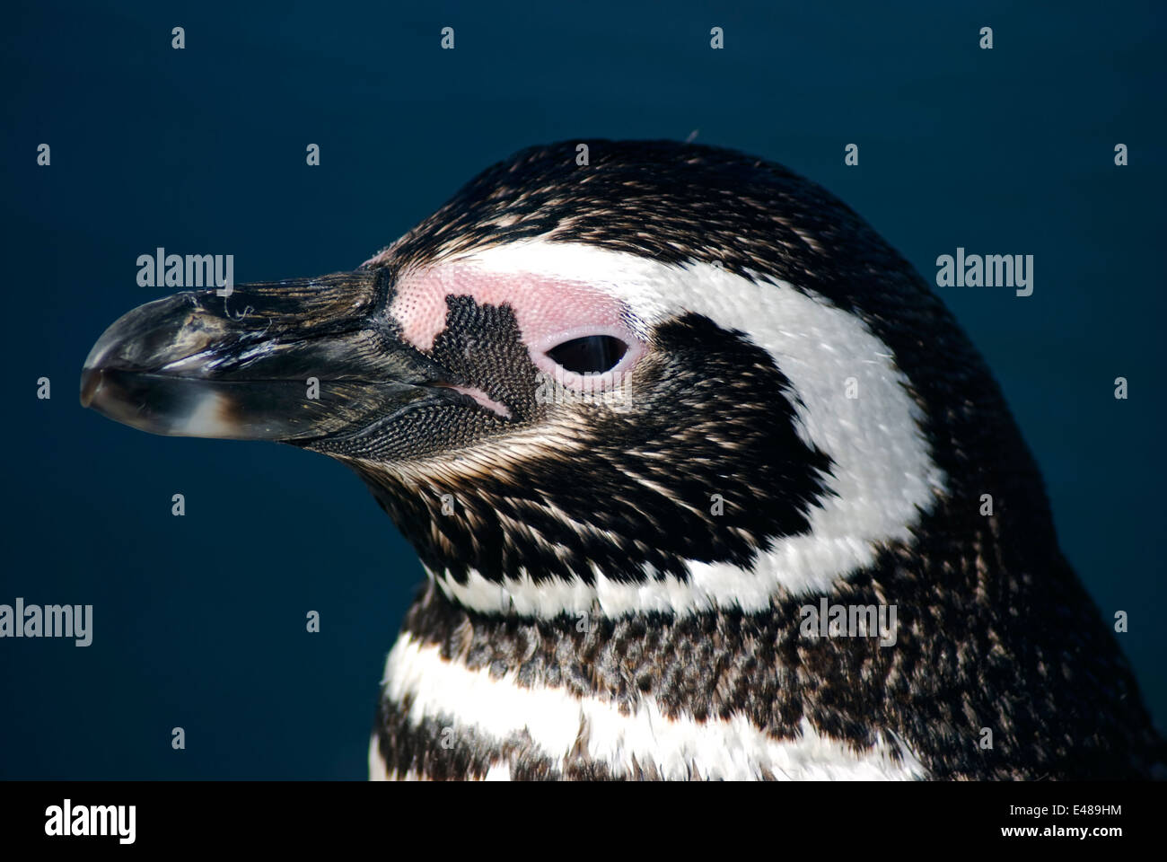 Magellan penguin. Torres del Paine National Park, Chile. - Stock Image
