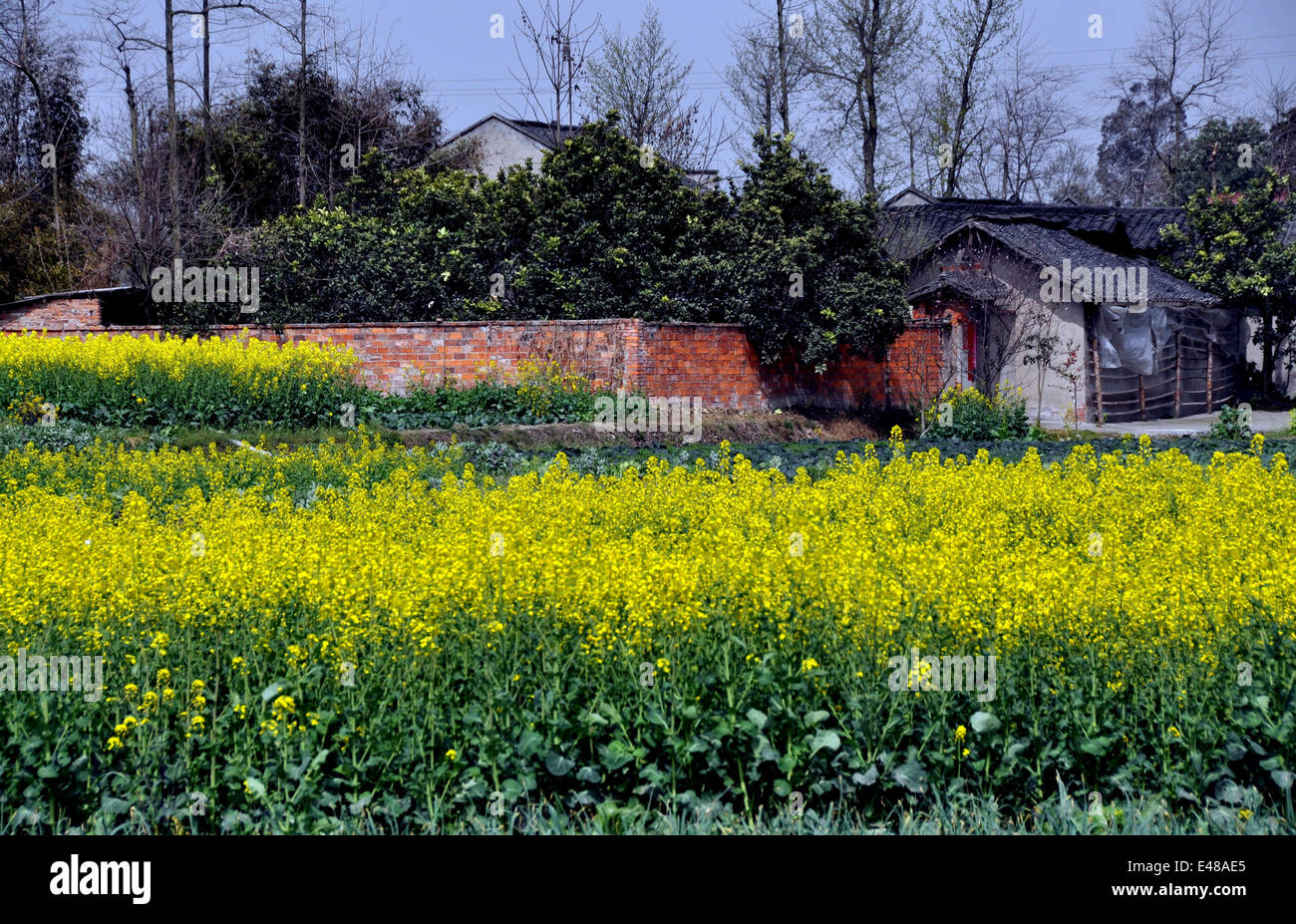 PENGZHOU, CHINA: Yellow rapeseed flowers and a Sichuan province farmhouse Stock Photo