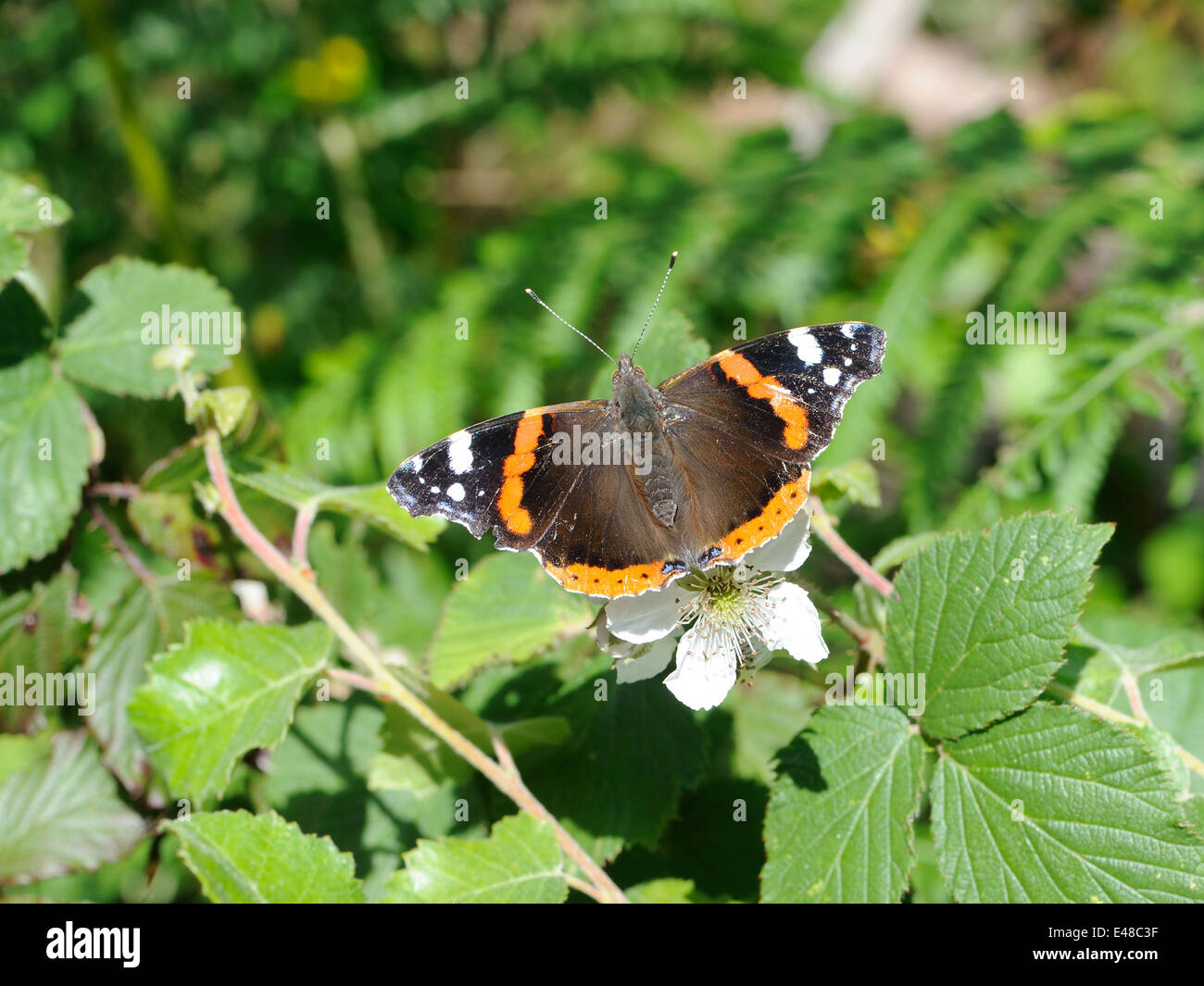 A Red Admiral (Vanessa atalanta) butterfly on a blackberry or bramble (Rubus fructosus).flower. Wings open. - Stock Image