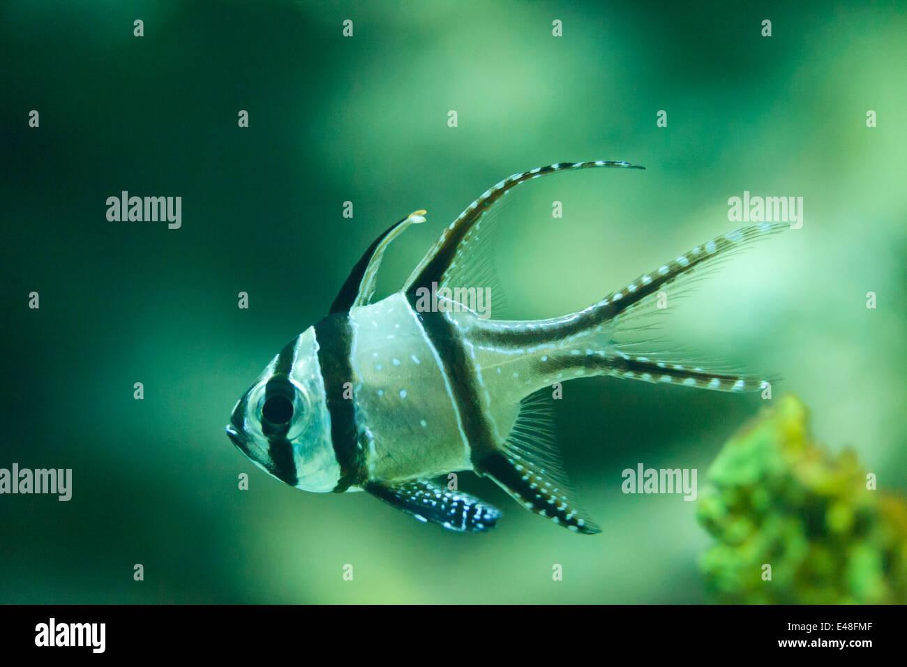 Pajama cardinalfish, sphaeramia nematoptera, Thailand - Stock Image