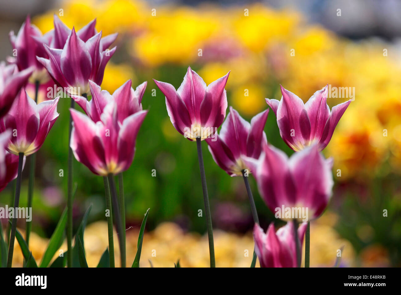 Tulips in the park of Balatonfüred Balaton, Hungary - Stock Image