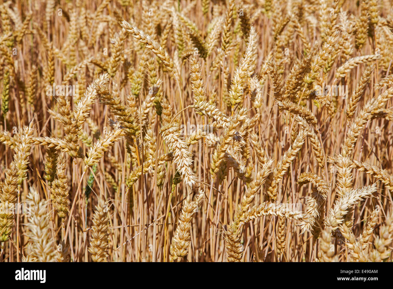 field of corn for the harvest - Stock Image