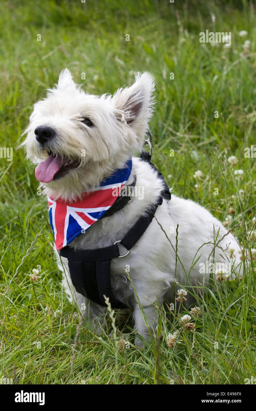 West Highland White Terrier wearing a union jack neckerchief - Stock Image
