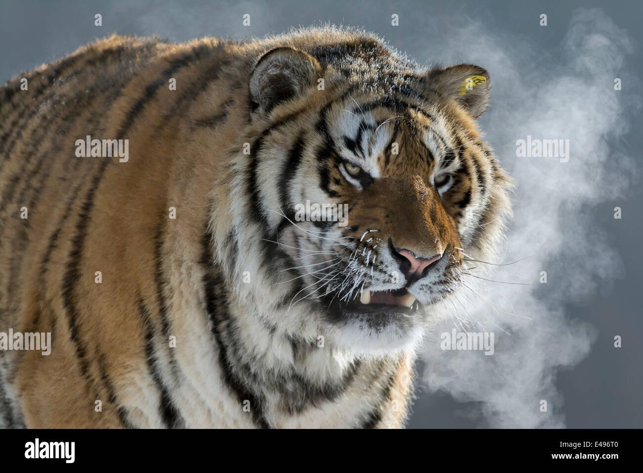 Grimacing Siberian tiger in the extreme cold, Hengdaohezi Breeding Center, Mudanjiang, China - Stock Image